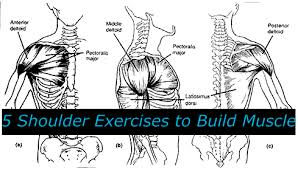 Shoulder Chart Workout 5 Shoulder Exercises To Build Muscle Tiger Muay Thai Mma