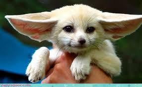newborn fennec fox. Plain Newborn Fennec Fox Over It So Cute  3163320064 For Newborn Fennec Fox T