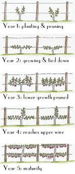 Espalier Fruit Trees Thatu0027s Natty  Pear Pear Trees And GardensGrowing Cordon Fruit Trees
