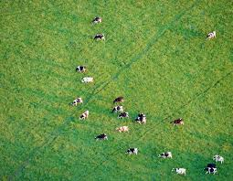 grass field aerial. Aerial View Of Cows Grazing In A Grass Field L