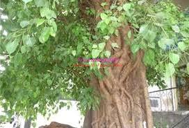 Image result for पीपल के पेड़ पर जल चढ़ाना