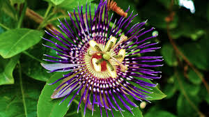 desktop wallpaper flowers high resolution. Beautiful High High Quality Wallpapers Passion Flower Images In Desktop Wallpaper Flowers Resolution U