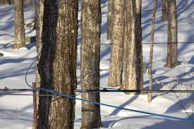Maple Sap To Syrup Conversion Chart How Sugar Maple Trees Work Massachusetts Maple Producers