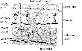 The Integumentary System Skin Medical Terminology For Cancer