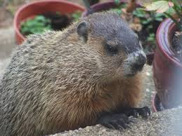 how to keep groundhogs out of my garden. Groundhogs And Woodchucks Are The Same Species. They Just Called By Both Names. In Missouri Illinois Live About Everywhere. How To Keep Out Of My Garden
