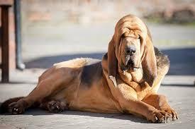 Image result for bloodhound