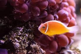 Clown Fish Identification Chart Clownfish Varieties 9 Most Popular Clownfish For The Home