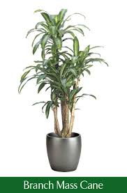 best low light office plants. Low Light Office Plants Adorable Branch Mass Cane Modernday Impression Plant Selector Best