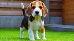 beagle puppies. Brilliant Beagle Cute And Adorable Beagle Puppy From 8 Weeks To Months  Marie Inside Puppies K