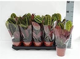 Calathea triostar ou maranta tricolor: Maranta Leuconeura Tocado Tricolor 30 Cm Marante Flecha Planta Interior Amazon Es Jardin