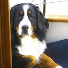 bernese mountain dog photos