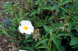 Cistus laurifolius | laurel-leaved rock rose/RHS Gardening