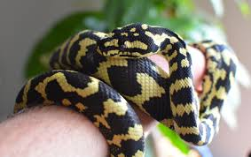 2015 holdback jungle carpet python zebra jungle carpet l18 carpet