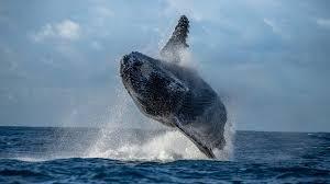 تحميل درايفر طابعة اش بي 1102 : 6 813 Humpback Whale Stock Photos Free Royalty Free Humpback Whale Images Depositphotos