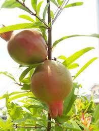 Fruit Tree Farms  Tree Farming Information  FarmscomIranian Fruit Trees