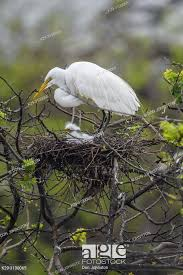 Great egret (Casmerodius albus, Ardea alba, Egretta alba), Smith Oaks  Audubon rookery, High Island, Stock Photo, Picture And Rights Managed  Image. Pic. K29-3100065 | agefotostock