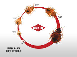 Size Of Bed Bugs Chart Bed Bug Life Cycle Eggs Nymphs Adult Stages