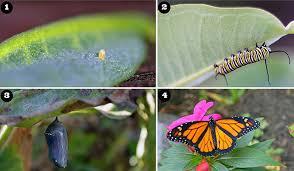 Image result for monarch migration