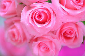 Roses Flowers Wallpapers Rose Flowers Wallpapers Group 64 Hd Wallpapers