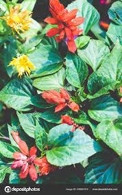 Der Weihnachtsstern Euphorbia Pulcherrima Auch Bekannt Als