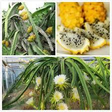 Dragon Fruit Pitaya  Howto Guide For GrowingDragon Fruit On Tree