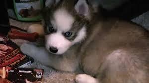 cute puppies with blue eyes. Simple Eyes In Cute Puppies With Blue Eyes E