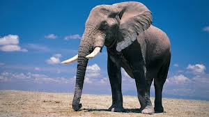 Download Pic of Elephant