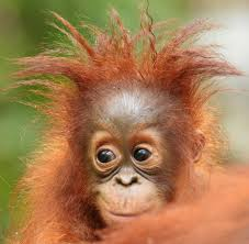 Image result for orangutans