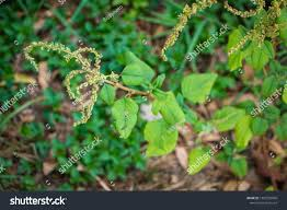 Spiny Pigweed Spiny Amaranth Spiny Pigweed Prickly Stock Photo