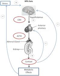 Hpa Axis Hypothalamic Pituitary Adrenal Axis An Overview Sciencedirect Topics
