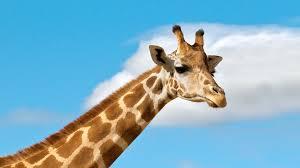 picture of a giraffe.  Picture Ugandan Giraffe Against A Blue Sky Background For Picture Of A Giraffe U
