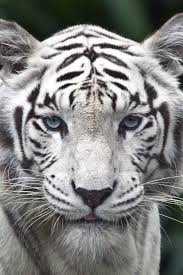white tiger iphone 5 wallpaper. Wonderful White White Tiger IPhone Wallpaper To Iphone 5 W