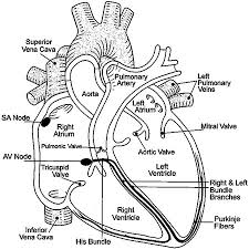 Small Picture Free coloring pages of heart diagram Clip Art Library