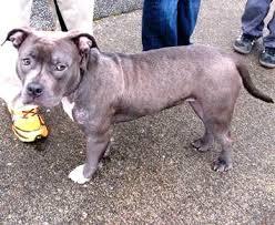 bull terrier bulldog mix. Unique Bulldog English Bulldog Bull Terrier Mix Breed Profile Staffordshire  Canine Chat Dog Tales To