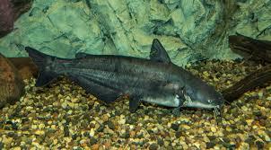 Blue Catfish Ictalurus Furcatus Species Profile