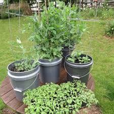 bucket gardening. The Rusted Vegetable Garden: Peas In A Bucket Really Works! Gardening