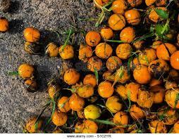Palm Tree Fruit Stock Photos U0026 Palm Tree Fruit Stock Images  AlamyPalm Tree Orange Fruit