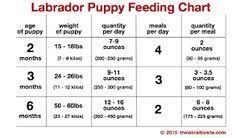 Labrador Puppies Feeding Guide Goldenacresdogs Com