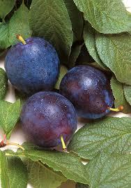 Plum Trees U2014 Sunnyside NurseryPlum Fruit Tree Varieties