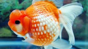 Ciri-Ciri Ikan Mas Koki Stress