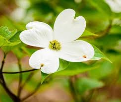 White Dogwood Tree | Creamy White Blooms — PlantingTree