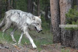 emaciated wolf. Brilliant Emaciated Copyrighted Hayden Wolf Walking For Emaciated Wolf