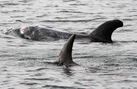 killer whales eating dolphins. Killer Whales Above Often Look Very Similar In Profile To Dolphins Below With Eating