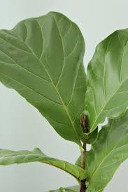 how to keep a fiddle leaf fig alive happy decor fix the small brown