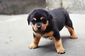 Kết quả hình ảnh cho Chó Rottweiler