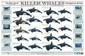 tilikum offspring chart. Delighful Tilikum Blackfishdebunked3 Throughout Tilikum Offspring Chart