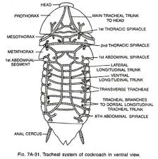 essay on cockroach tracheal system of cockroach in ventral view