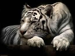 white tiger wallpaper desktop. Simple Wallpaper View Full Size  And White Tiger Wallpaper Desktop