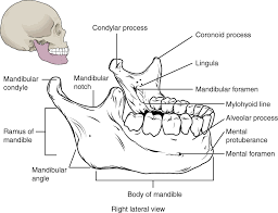 Small Picture The Skull Anatomy and Physiology