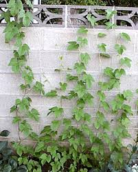 Plants That Grow On Fences Covering Chain Link Fences With VinesWall Climbing Plants Southern California